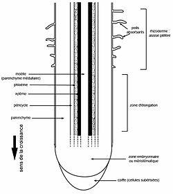 Coupe longitudinale de racine: principaux tissus (Cliquez pour agrandir).
