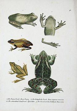 Des grenouilles: Rana brama, Rana sanguinea,Rana aurea, Hyla faber.