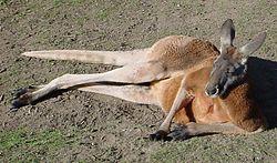 Kangourou roux (Macropus rufus)