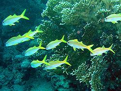 rouget à nageoire jaune