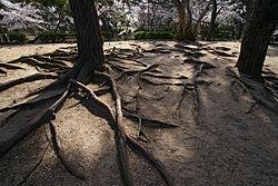 Sur sol sableux, les résineux étalent parfois largement leurs racines