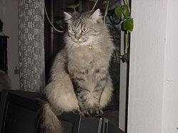 Sibirische-Katze-Omega-1.jpg