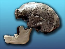 crâne de Sinanthrope, l'un des Homo erectus asiatiques