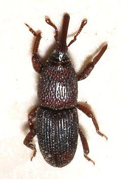 Charançon du blé (Sitophilus granarius)