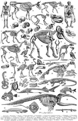 Planche de squelette
