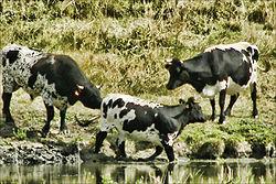 Vaches bordelaises