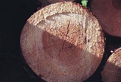 Section d'un tronc d'arbre