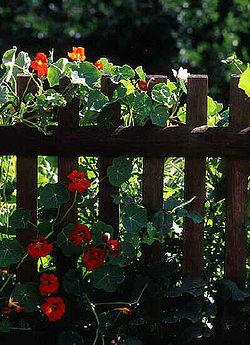 La clôture de jardin est typique des cultures basées sur la propriété privée. Elle délimite et marque un territoire, mais est souvent associée à fleurs colorées (ici des capucines) qui atténuent le message hostile que pourrait porter la clôture.