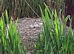 Nid de cygne tuberculé avec deux œufs non éclos (à gauche) et jeune cygne sorti de l'œuf (à droite).