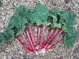 Pétioles rouges charnus de feuilles de rhubarbe