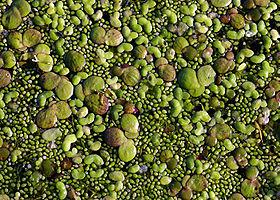 En grande quantité, Spirodela polyrhiza et Lemna minor sont des indicateurs d'eutrophisation.