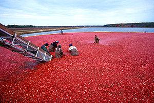Récolte des canneberges, New Jersey, États-Unis