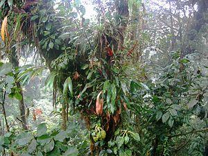 Diverse espèces épiphytes dans une forêt humide en Amérique centrale. Les écosystèmes de la zone intertropicale hébergent la plus grande partie de la biodiversité mondiale actuelle.