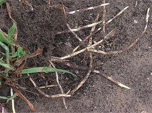 Rhizomes de houlque molle
