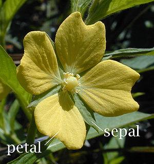 Fleur de Jussie