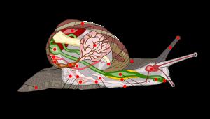 Coupe longitudinale d'un escargot, schéma montrant les différents organes situés dans la coquille ou dans la partie externe du corps