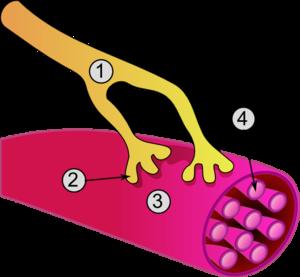 Vue globale d'une jonction neuromusculaire:1. Axone2. Jonction neuromusculaire3. Fibre musculaire4. Myofibrille