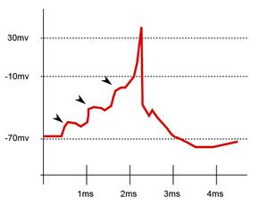 Enregistrement postsynaptique du potentiel membranaire. Les flèches marquent les PPSE de trois évènements afférents. Une sommation de trois PPSE donne naissance dans ce cas au déclenchement du potentiel d'action.