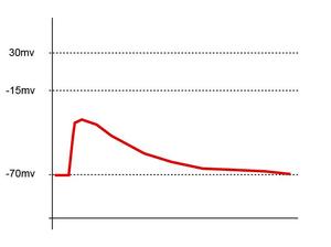Dépolarisation subliminale un seul PPSE ne dépolarise pas suffisamment la membrane pour générer un potentiel d'action.