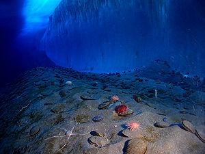 La vie est rare sur la banquise, mais plus développée sous l'eau. Au pied du mur de glace, de la banquise d'Explorer's Cove (New Harbor, détroit McMurdo), coquillages, oursins et organismes marins occupent densément le fond