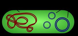 Figure 1: Schéma représentant une bactérie contenant des plasmides. 1 ADN chromosomique (bactérien). 2 Plasmides.