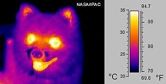 Image infrarouge de longueur d'onde moyenne d'un petit chien en fausse couleur.