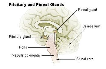 Localisation (ici Pineal gland)Cerebellum = Cervelet Pituitary gland = HypophysePons = Pont de VaroleMedulla oblongata = bulbe rachidienSpinal cord = Moelle épinière