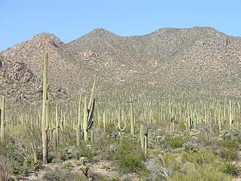 Saguaro, Arizona. Le Sagaro est un cactus qui peut mesurer jusqu'à 15 mètres de haut. On le rencontre dans le sud-ouest des États-Unis et dans le nord du Mexique