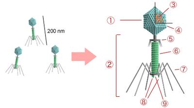 Structure d'un bactériophage