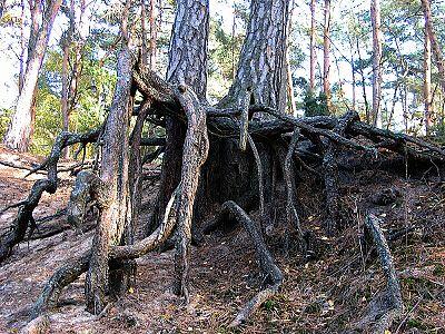 Racines de pin sylvestre.