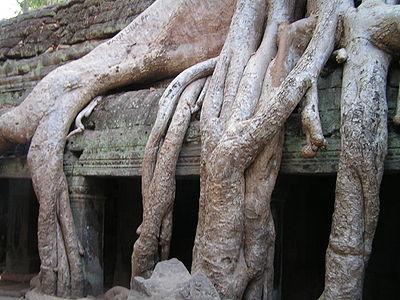 De nombreux arbres tropicaux ont de racines et contreforts solides leur permettant de pousser sur des milieux a priori hostiles