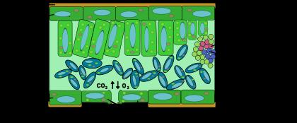 Schéma d'une coupe transversale dans le limbe d'un dicotylédone.