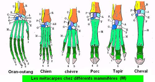 Mammals metacarp.png