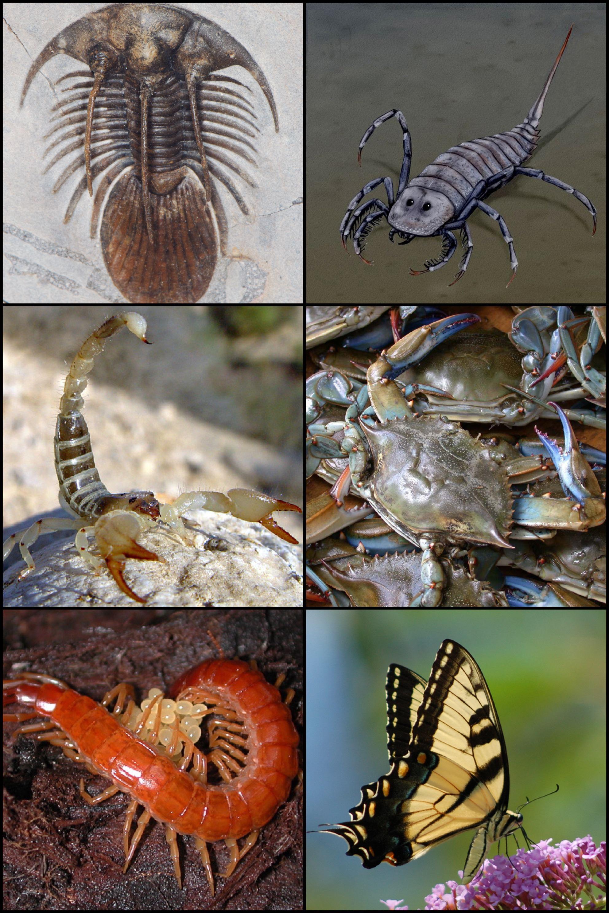 Les arthropodes parasites de l homme. Nom vernaculaire, Insecte, Parasitisme, Pediculus humanus
