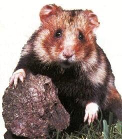 Hamster d'Europe (Cricetus cricetus)