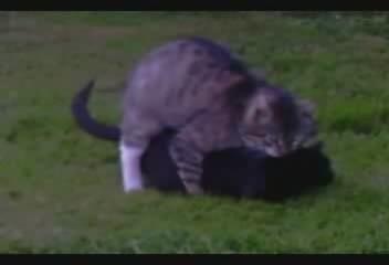 Domestic cats breeding.ogg