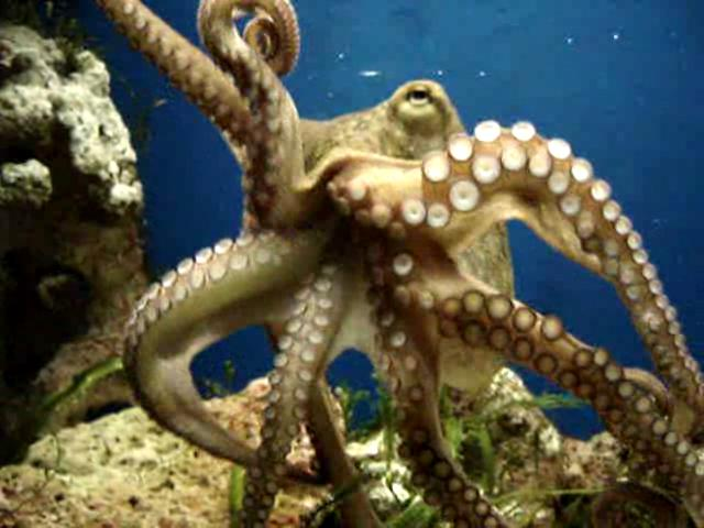 Moving Octopus Vulgaris 2005-01-14.ogg