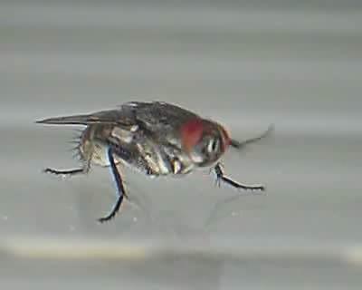 Une mouche se nettoie