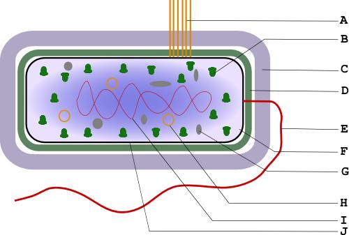 Figure 1: Structure bactérienne, schéma simplifié.